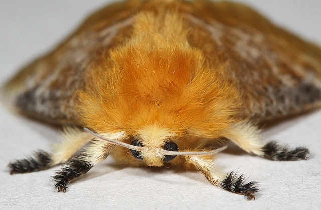DT Moth